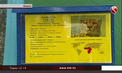Взоопарке Алматы скончался гепард