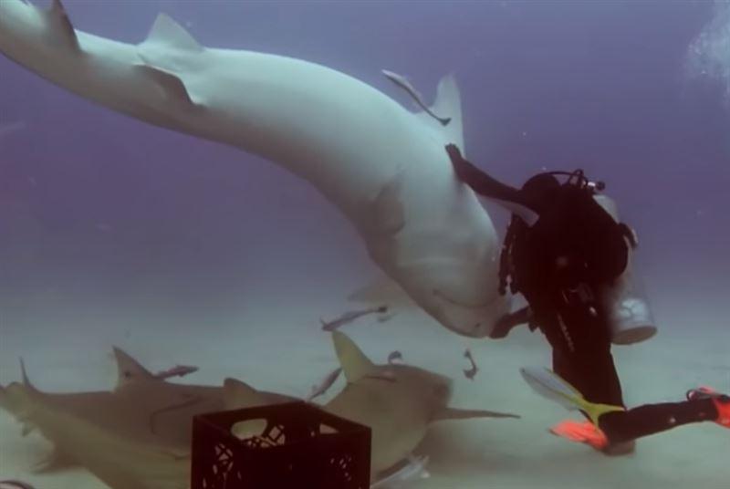 Акула перевернулась кверху брюхом от прикосновения аквалангиста