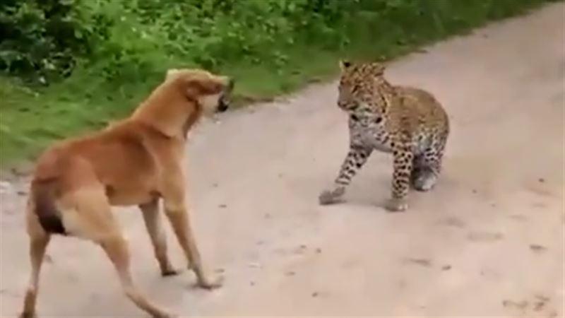 Дворняга прогнала леопарда, пытавшегося на нее напасть