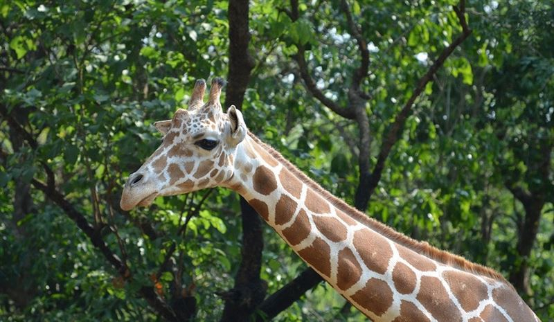 Жираф напал на туристов и искусал их до полусмерти
