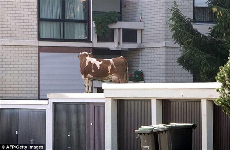 Сбежавшую с фермы корову обнаружили на крыше гаража