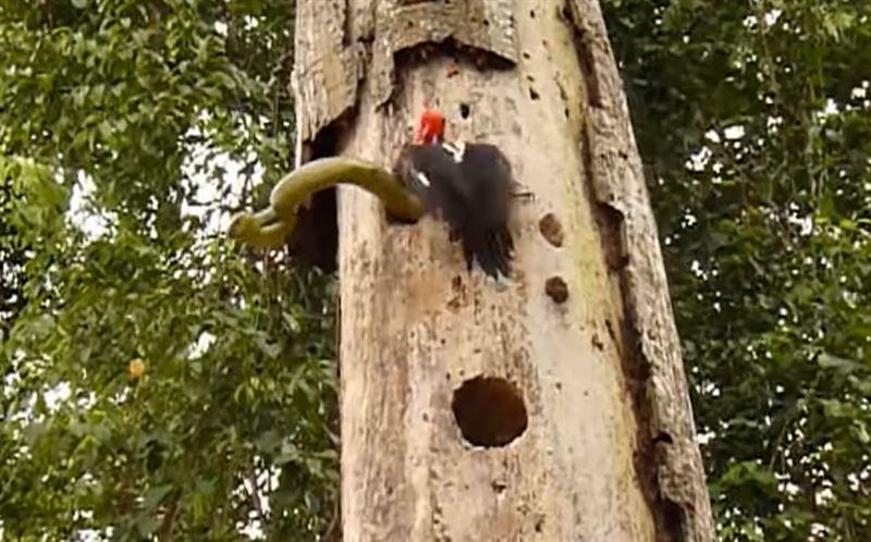 Противостояние дятла и змеи сняли на видео