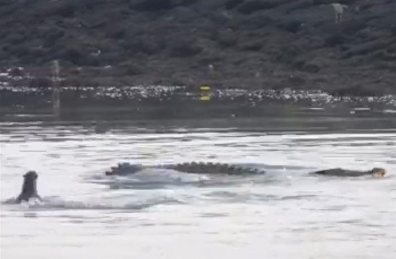 Нападение выдр на крокодила попало на видео