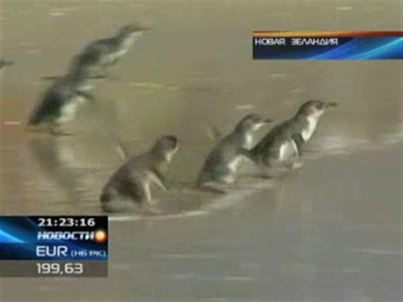 Сорок девять пингвинов выпустили в океан с берегов Новой Зеландии