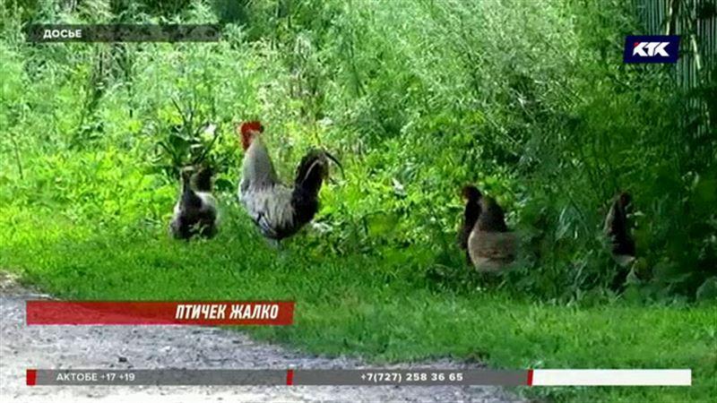Россельхознадзор запретил закуп курятины из СКО  за 4 дня до окончания карантина