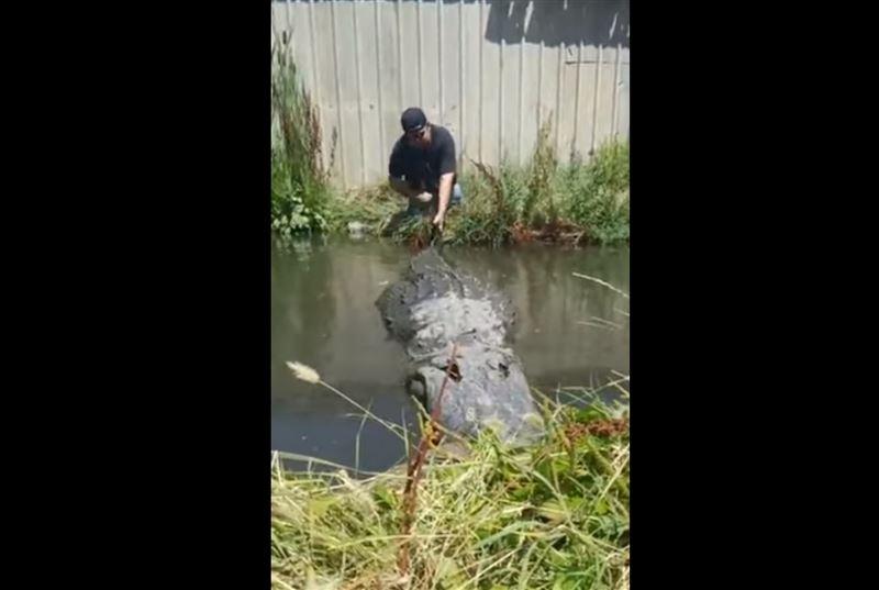 Мужчина едва не угодил в пасть аллигатора, дернув того за хвост