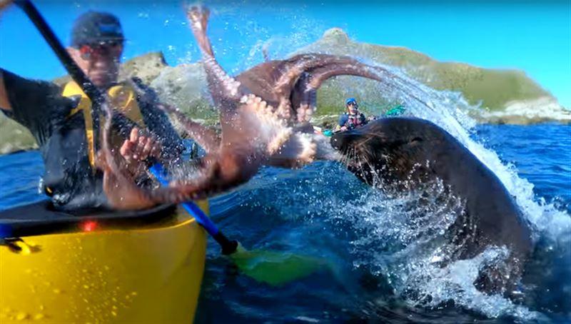 Тюлень ударил осьминогом человека в лодке