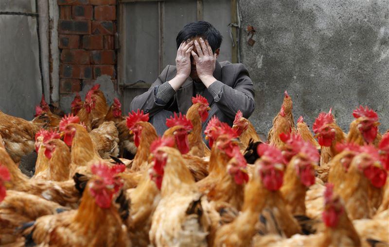 В Китае человек заразился птичьим гриппом