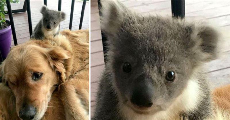 Собака спасла крошечную коалу от гибели
