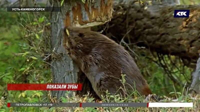 Бобры поселились прямо напротив усть-каменогорского акимата