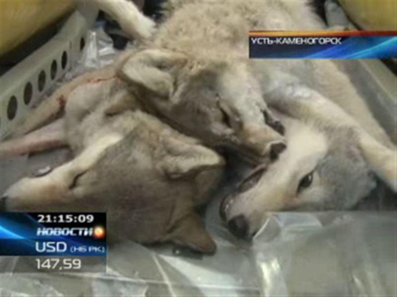 В Восточном Казахстане открыли охоту на волков
