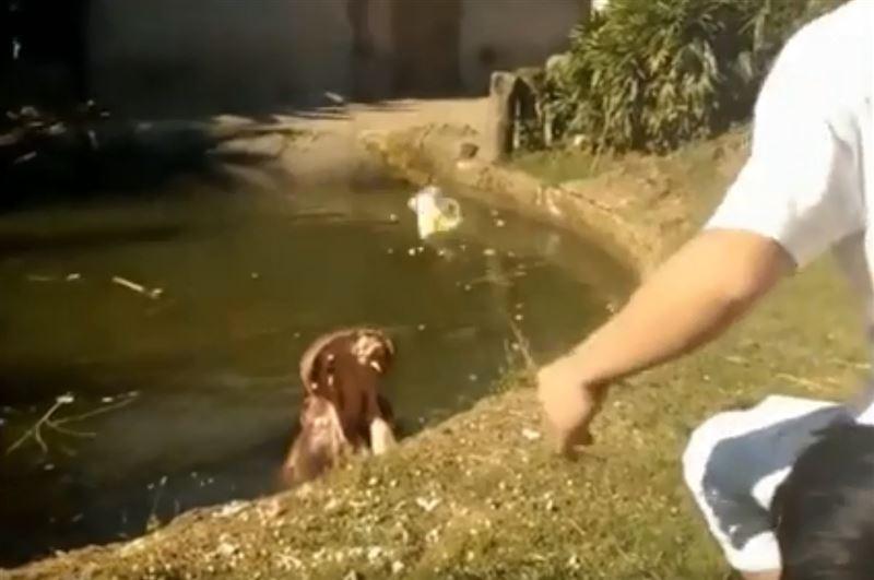 Посетитель зоопарка скормил бегемоту пластиковый пакет