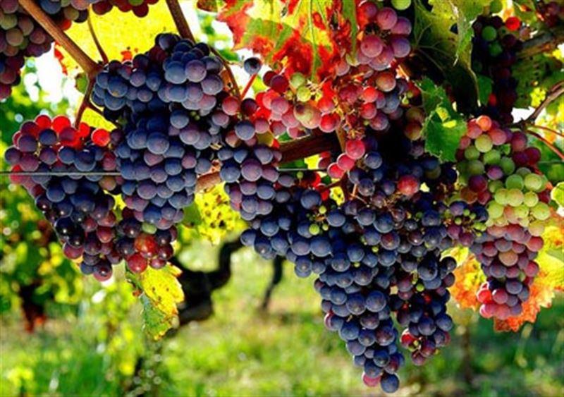 Ученые: Виноград помогает бороться с раком легких