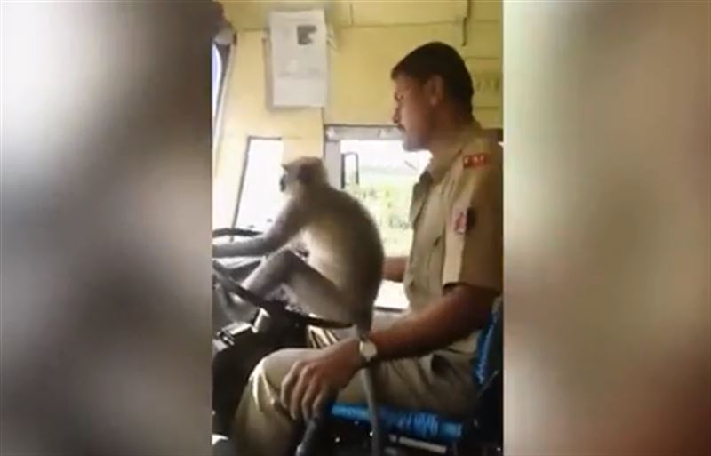 В Индии водитель пустил обезьяну за руль и потерял работу
