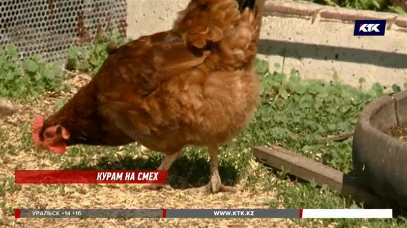 Минсельхоз недоволен историей вокруг казахстанских кур