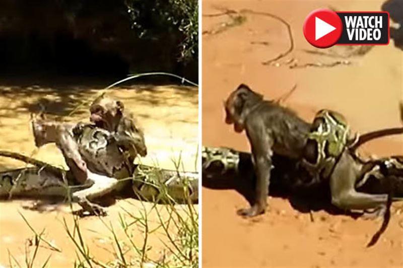 Дети спасли обезьяну из смертельных объятий питона