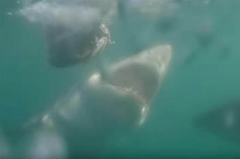 На видео сняли потасовку между большой белой акулой и маленькой