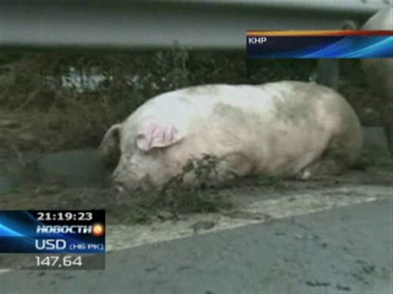 В Китае свиньи устроили переполох на одной из оживленных трасс