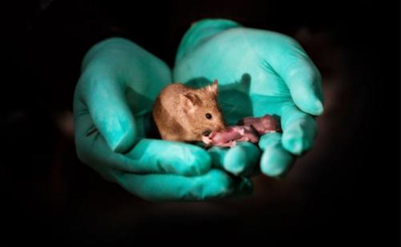 В Китае родились мыши от однополой пары