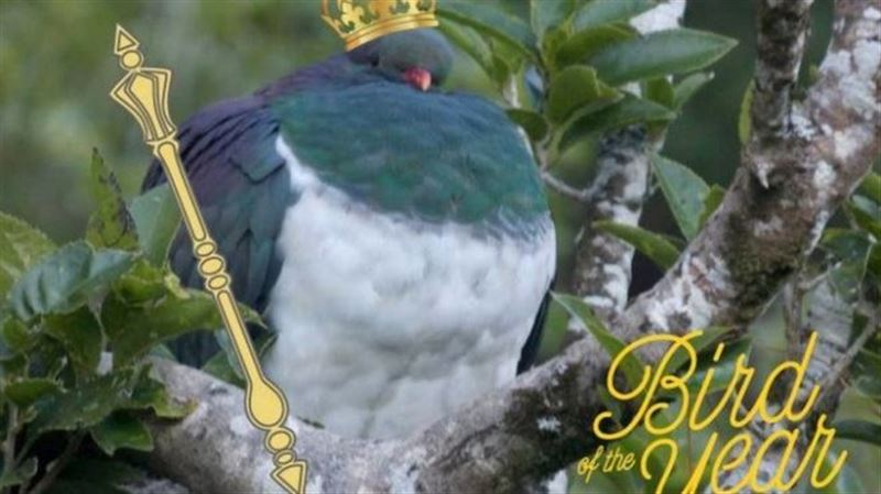 Пьяный голубь стал птицей года в Новой Зеландии