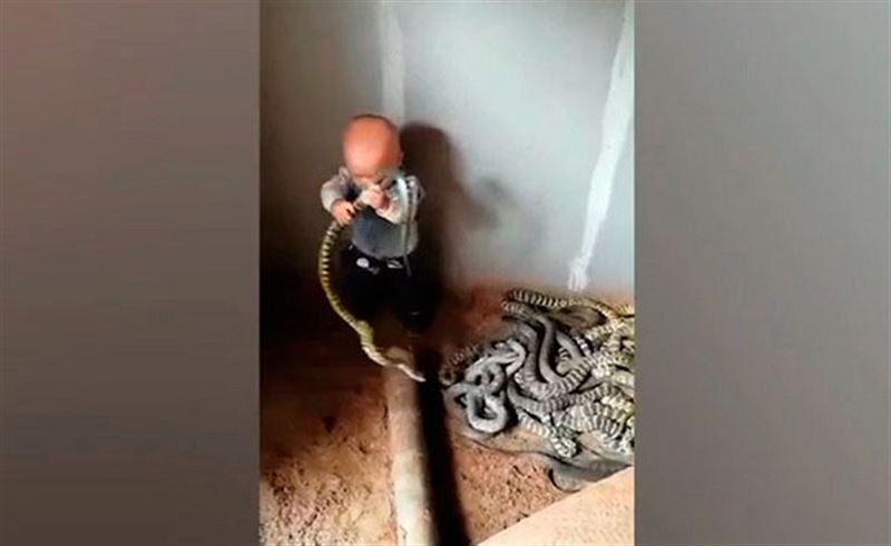 Счастливые родители наблюдали, как годовалый сын играл с десятками огромных змей