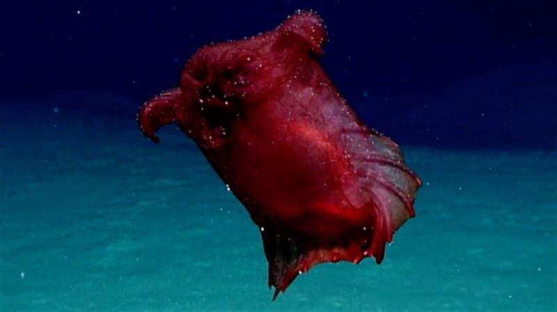 «Безголового куриного монстра» впервые удалось сфотографировать в Тихом океане