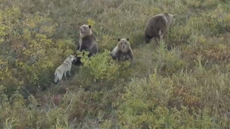 Собака — друг медведя: на Камчатке лайка сдружилась с семьей хищников