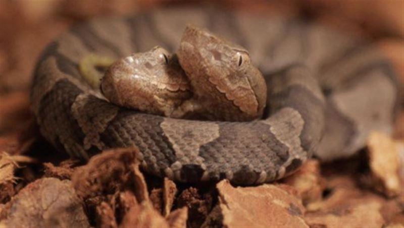 В Германии появилась редкая двухголовая змея