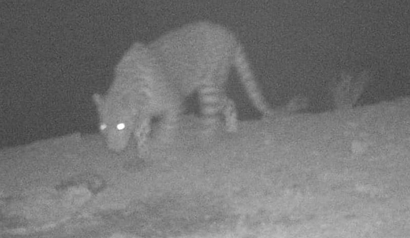 Фотоловушка сняла леопарда в казахстанской части Устюрта