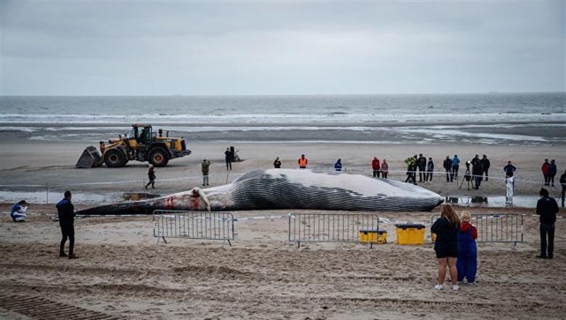 В Бельгии на пляж выбросился 18-метровый кит