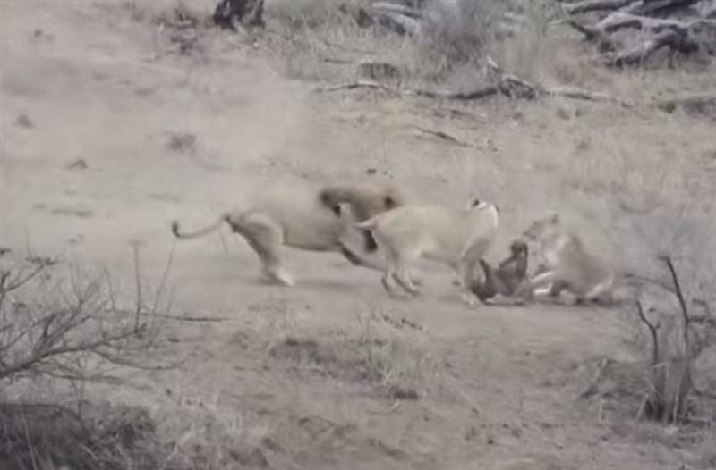 Лев спас бородавочника от собратьев и остался без обеда