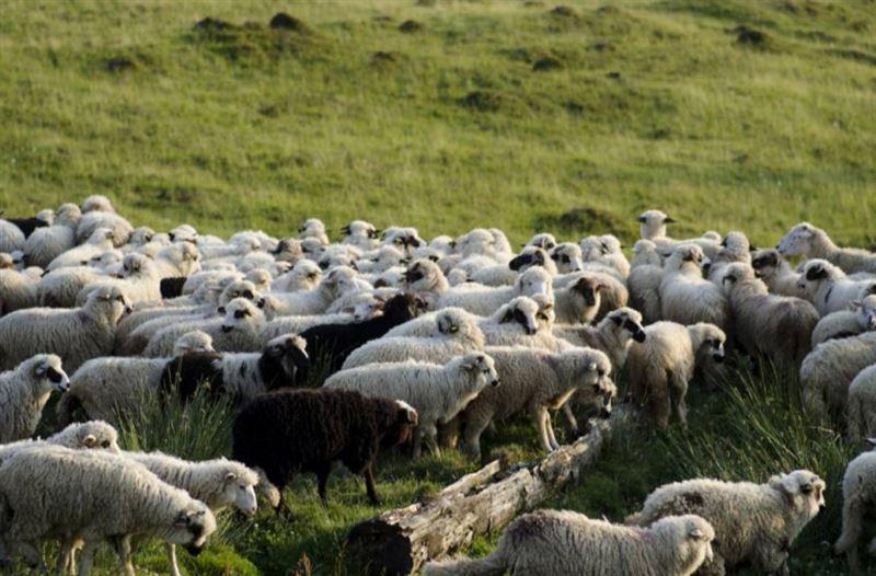 Удар молнии стал причиной гибели более ста овец и коз
