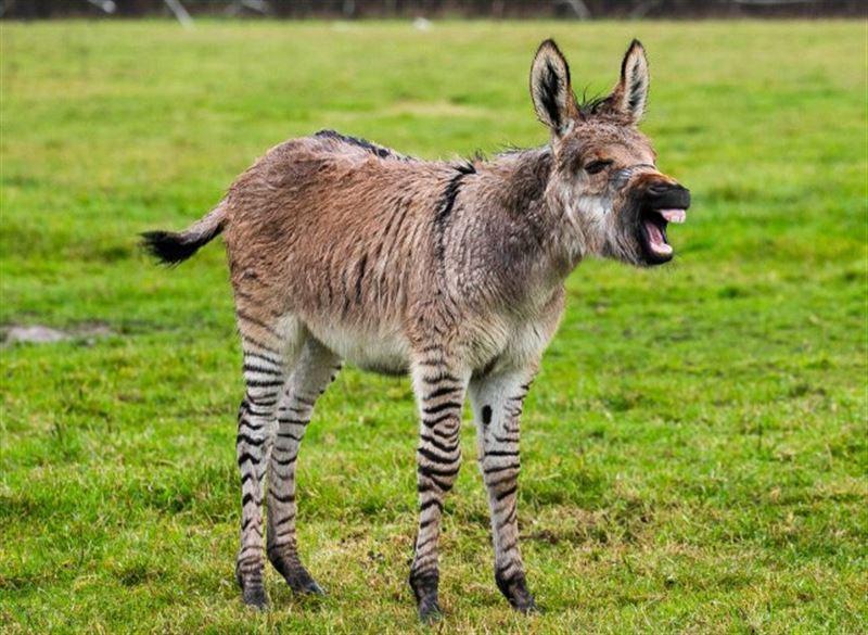 В Великобритании родился гибрид осла и зебры