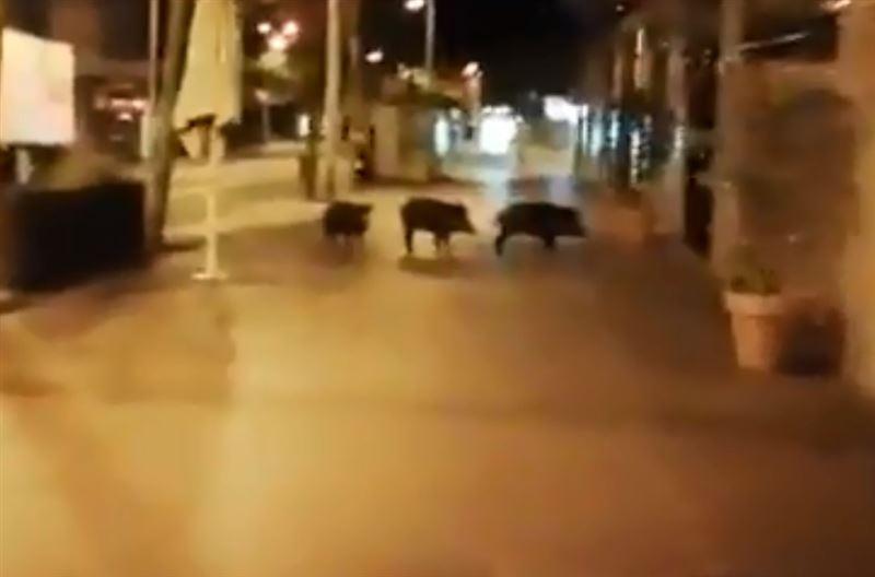 По центральным улицам Барселоны гуляют кабаны