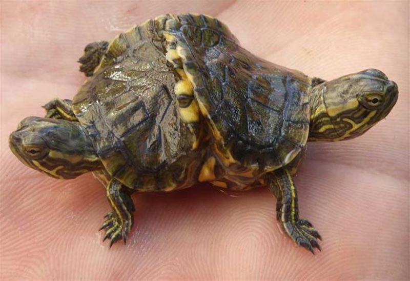 Двухголовую черепаху нашли на Кубе