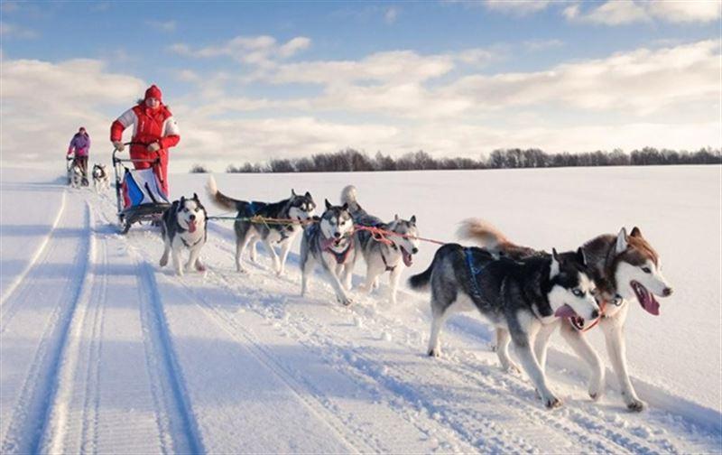 Собачьи упряжки станут новым видом транспорта в Дании