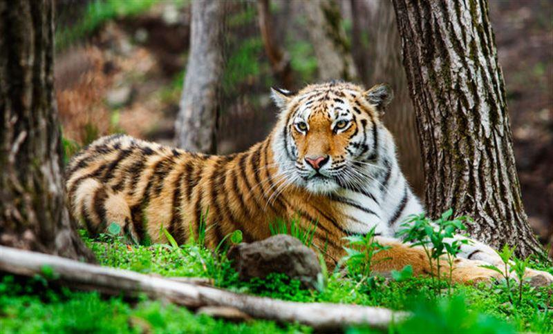 Бегущую за туристами тигрицу сняли на видео
