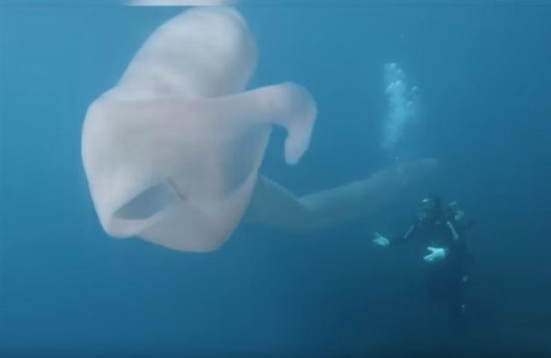 Дайверы сняли на видео редкого подводного обитателя