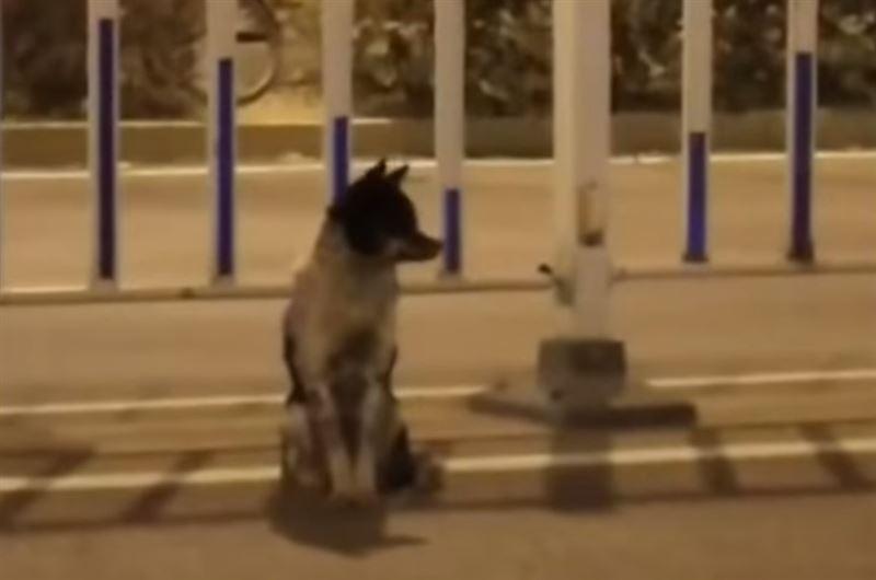 В Китае пес 80 дней ждет хозяйку у места аварии