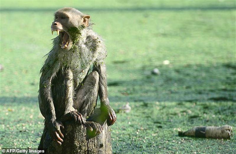 В Индии обезьяна похитила у матери младенца и убила его