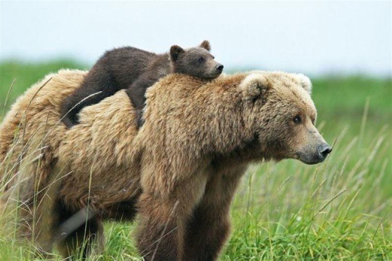 В США полицейский помог медвежонку вернуться к матери