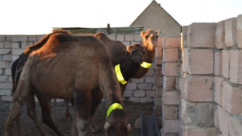 Скотоводов обязали надевать на животных светоотражающие ошейники