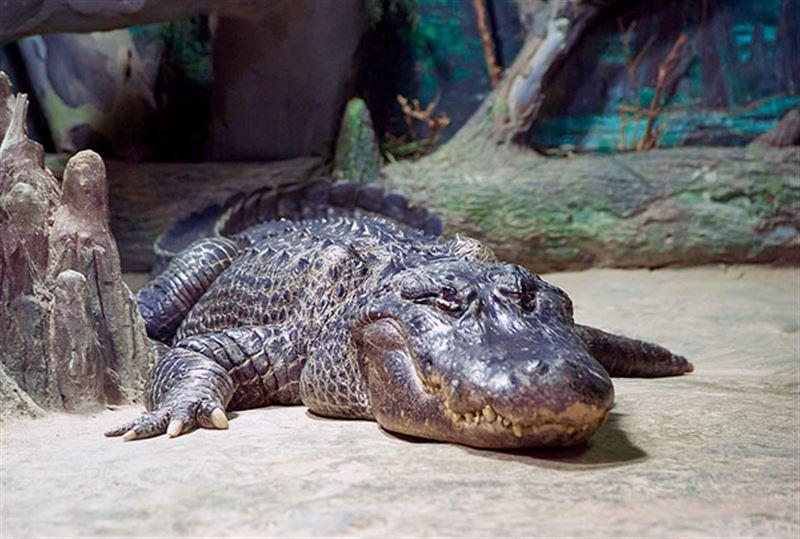 Экстремал рухнул в бассейн с аллигаторами