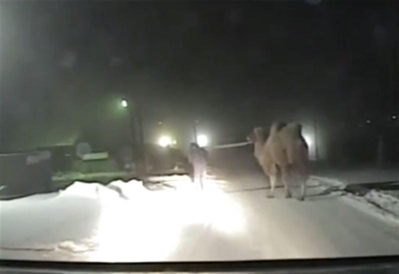 Цирковая фура с верблюдами попала в ДТП