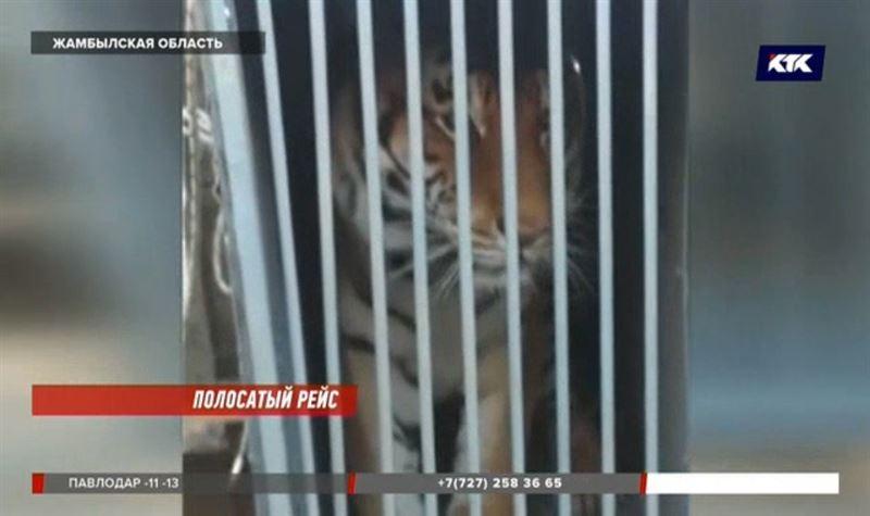 На перевале Куюк из грузовика вывалились тигр и львица