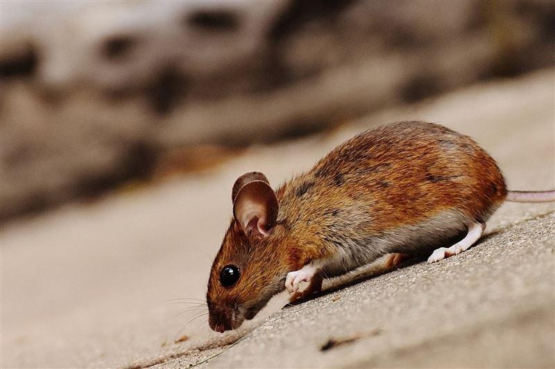Ученые: Ревность характерна не только для людей, но и мышей