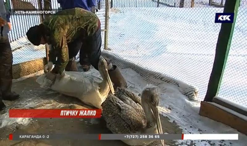 Вмерзших в лед пеликанов спасли в ВКО