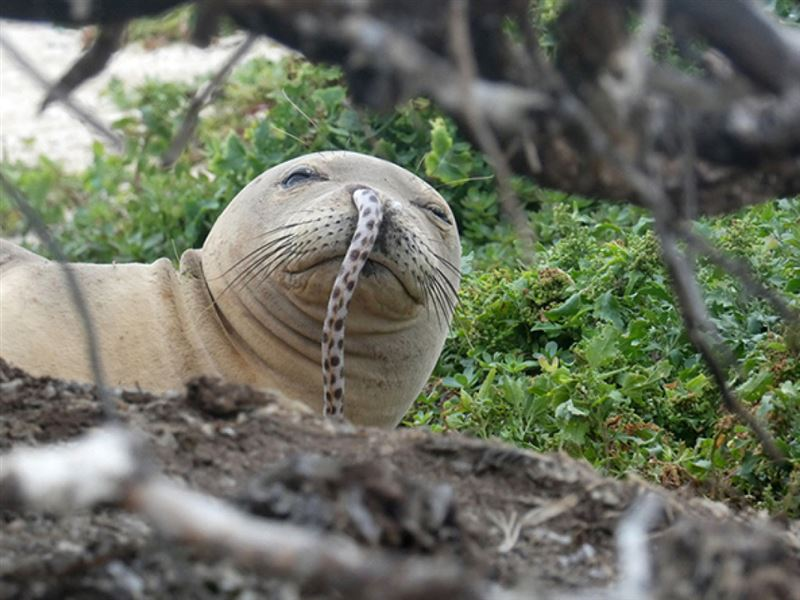 На Гавайях угорь заполз в нос тюленю и убил его
