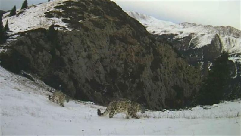 Ирбиса с котятами сняли на видео ввысокогорной зоне Иле-Алатауского нацпарка