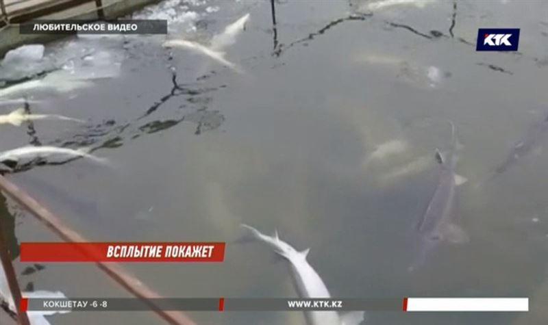 В уральской воде гибнет белуга, осётр и севрюга